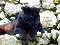 Pantera zoo di Lignano