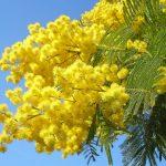 festa-della-donna-mimosa-8-marzo